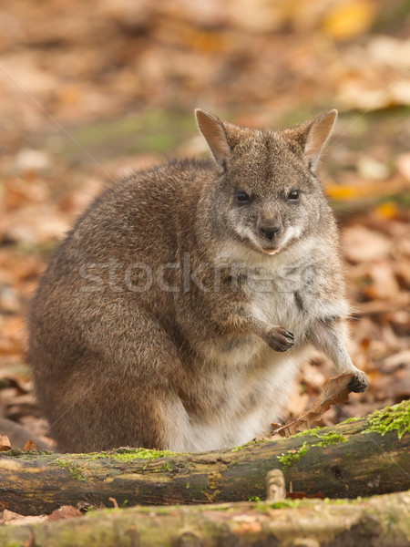 Eating parma wallaby Stock photo © michaklootwijk