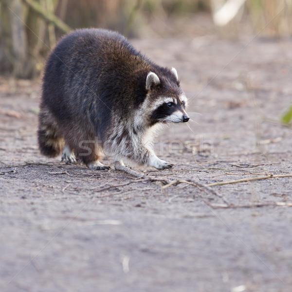 Volwassen wasbeer nest oog natuur haren Stockfoto © michaklootwijk