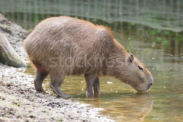 Iszik tavacska felnőtt mocskos víz világ Stock fotó © michaklootwijk