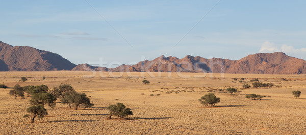 Desert landscape with grasses, red sand dunes and an African Aca Stock photo © michaklootwijk