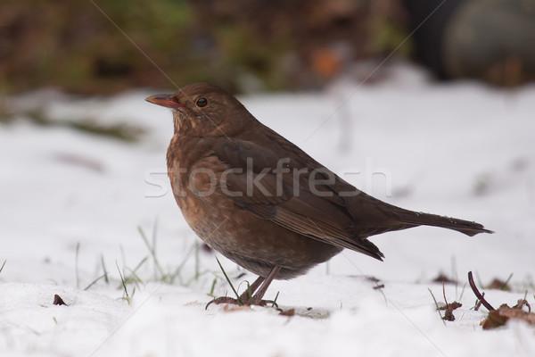 Mirlo nieve pie ojo jardín aves Foto stock © michaklootwijk