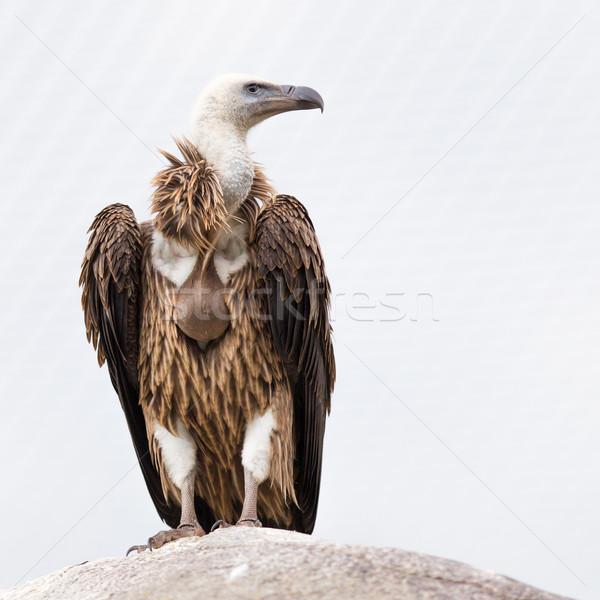 Stock photo: Adult condor