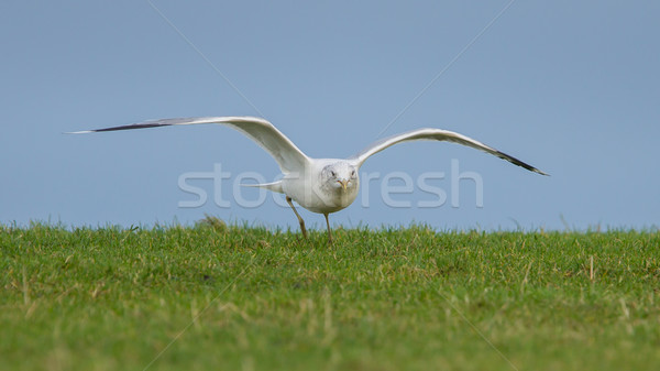 Young seagull landing on the grass Stock photo © michaklootwijk