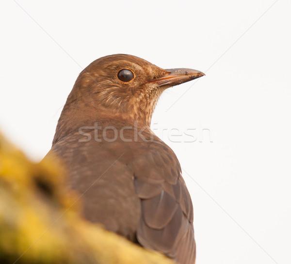 Mirlo techo ojo jardín aves Foto stock © michaklootwijk
