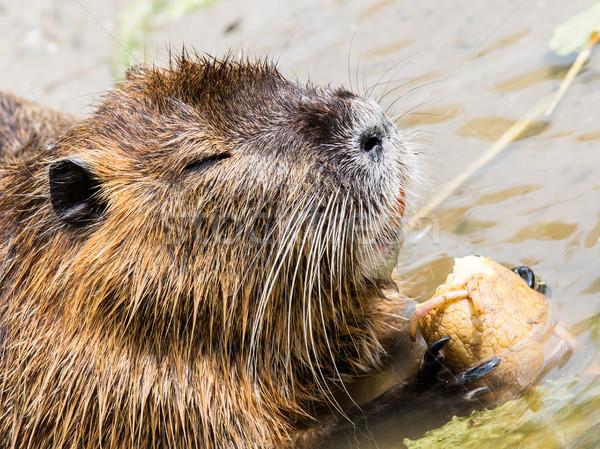Alimentação foco olho água natureza mouse Foto stock © michaklootwijk