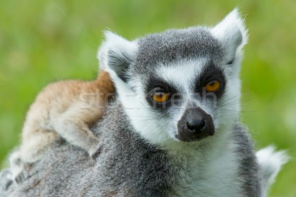 Ring-tailed lemur  Stock photo © michaklootwijk