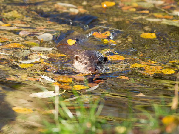 Otter is swimming  Stock photo © michaklootwijk