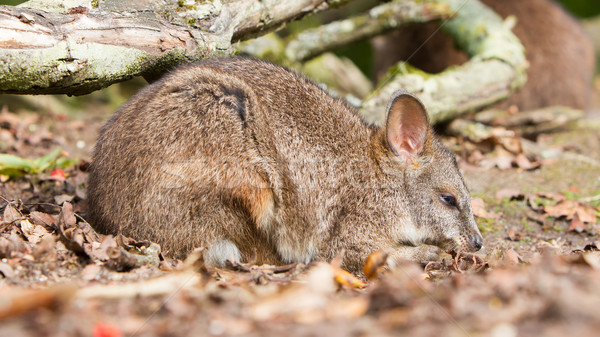 Sleeping parma wallaby Stock photo © michaklootwijk