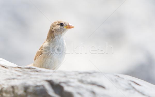 Jovem pardal beira-mar pedra Suíça olho Foto stock © michaklootwijk