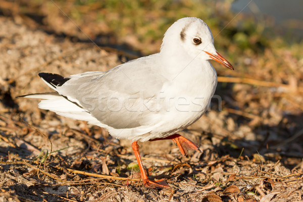 A black-headed gull Stock photo © michaklootwijk