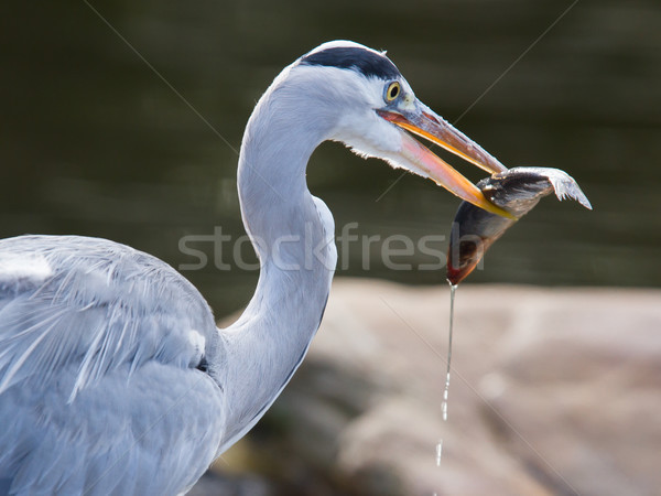 Great blue heron spears a fish Stock photo © michaklootwijk