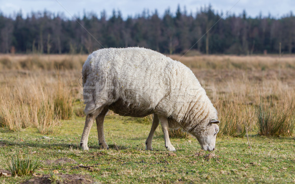 Sheep with a thick winter coat Stock photo © michaklootwijk