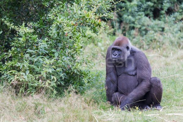 Volwassen gorilla groen gras gezicht achtergrond Stockfoto © michaklootwijk