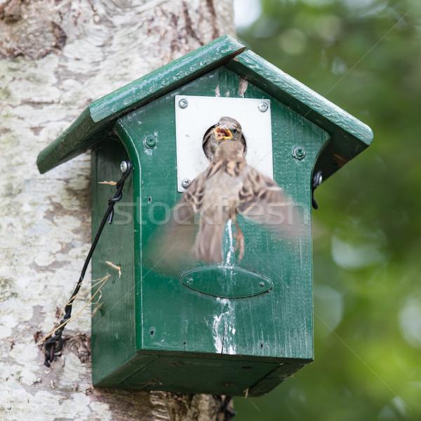 Adulto pardal jovem árvore comida Foto stock © michaklootwijk