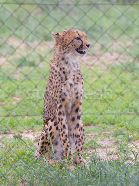Cheetah in captivity Stock photo © michaklootwijk