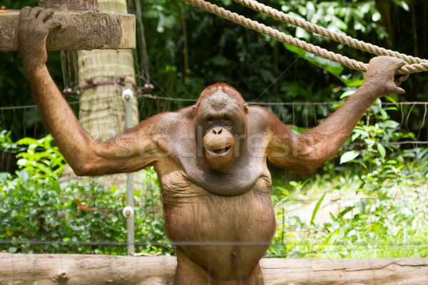 Orangutan (Pongo pygmaeus) in Saigon (Vietnam) Stock photo © michaklootwijk