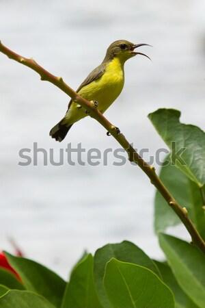 Olive Backed Sunbird - Female Stock photo © michaklootwijk
