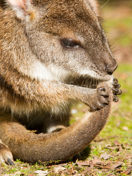 Parma wallaby is cleaning it's tail Stock photo © michaklootwijk