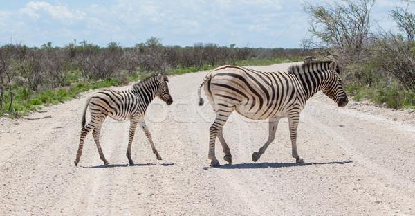 Burchells zebra (Equus Burchelli) with young crossing gravel roa Stock photo © michaklootwijk