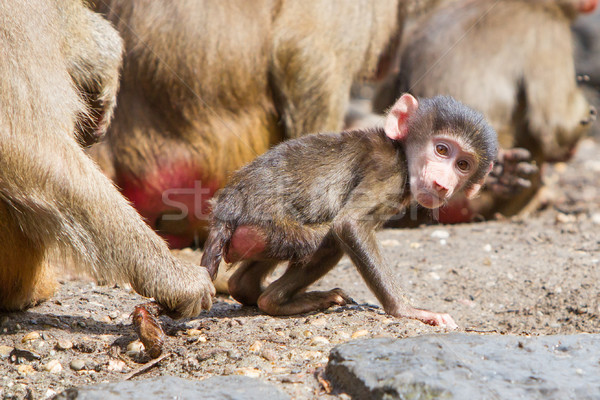 Female baboon with a young baboon Stock photo © michaklootwijk
