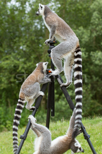 Ring-tailed lemurs sitting on tripod Stock photo © michaklootwijk