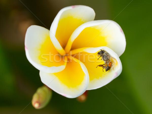 ölü uçmak sarı çiçek yalıtılmış arka plan güzellik Stok fotoğraf © michaklootwijk