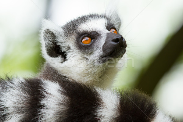 Ring-tailed lemur  in a dutch zoo  Stock photo © michaklootwijk