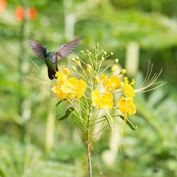 Hummingbird занят продовольствие цветок лет Сток-фото © michaklootwijk
