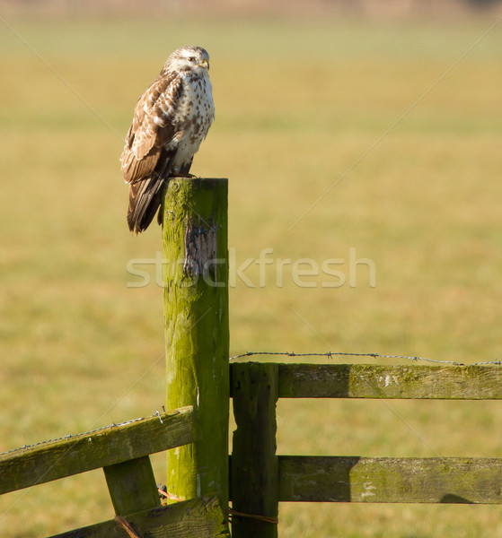 A buzzard is resting  Stock photo © michaklootwijk