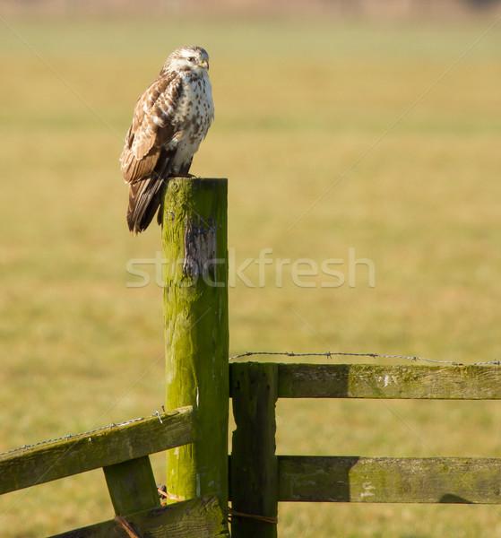 Urubu holandês paisagem natureza pássaro Foto stock © michaklootwijk