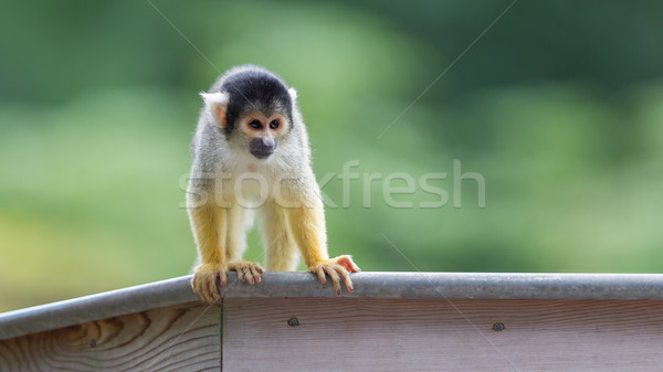Small common squirrel monkeys (Saimiri sciureus) Stock photo © michaklootwijk