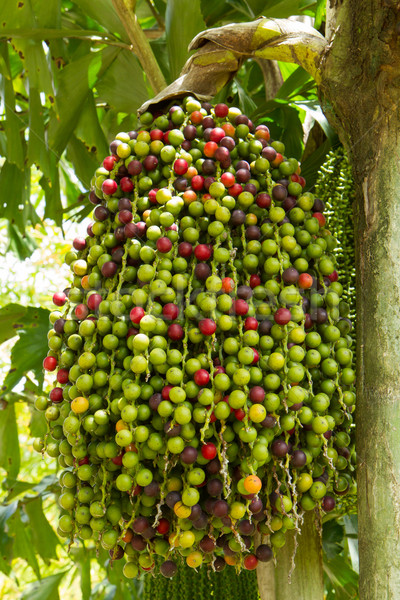 Stock photo: Cluster of berries in a tree