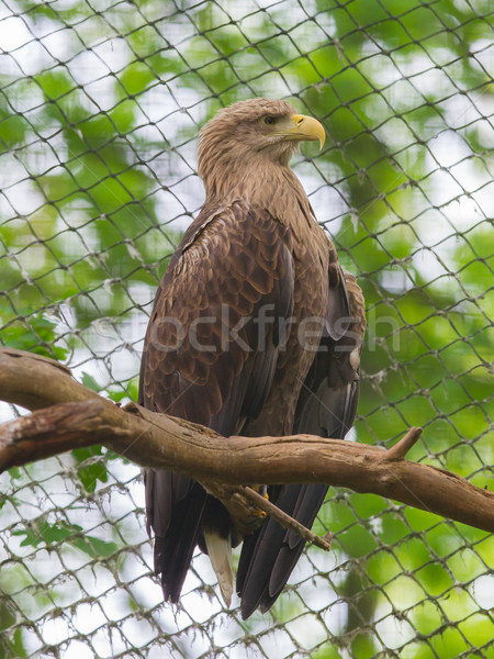 White tailed Eagle Stock photo © michaklootwijk