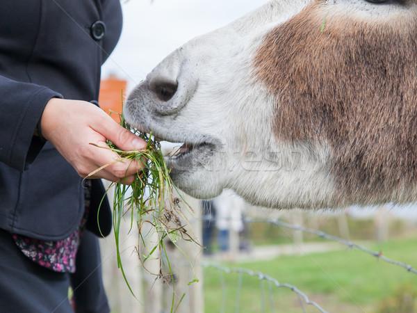 Woman feeding a donkey  Stock photo © michaklootwijk