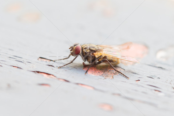 Fly sitting on some old paintwork Stock photo © michaklootwijk