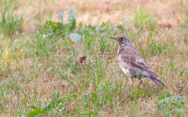 Young song thrush (Turdus philomelos) Stock photo © michaklootwijk