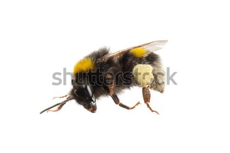 Stock photo: Bee, isolated on white