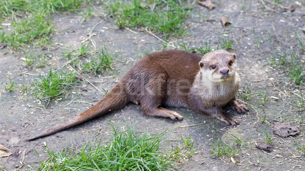 Otter is playing in the grass Stock photo © michaklootwijk