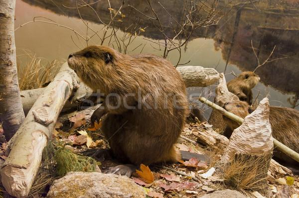 Beavers Working Stock photo © michelloiselle