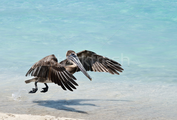 Hovering Pelican Stock photo © michelloiselle