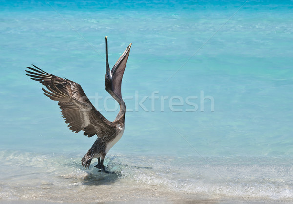 Dancing Pelican Stock photo © michelloiselle