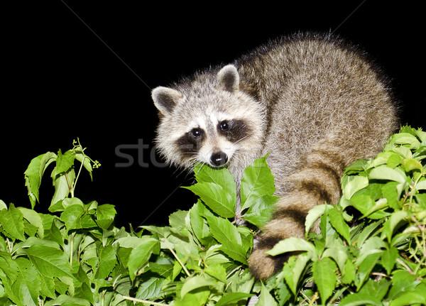 Night Raccoon Stock photo © michelloiselle