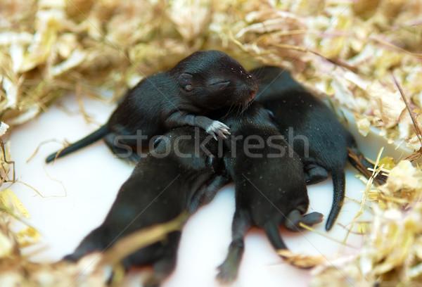 Klein muis baby nest pasgeboren zwarte Stockfoto © michey