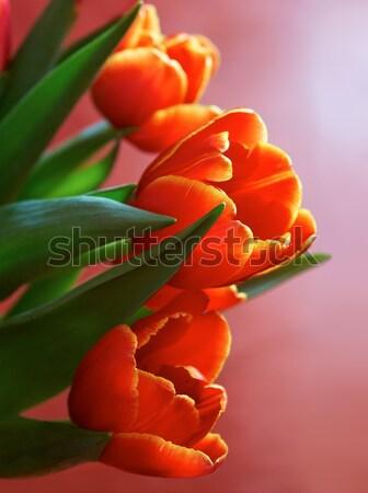 Czerwony wiosennych kwiatów jasne tulipany wiosną Zdjęcia stock © michey