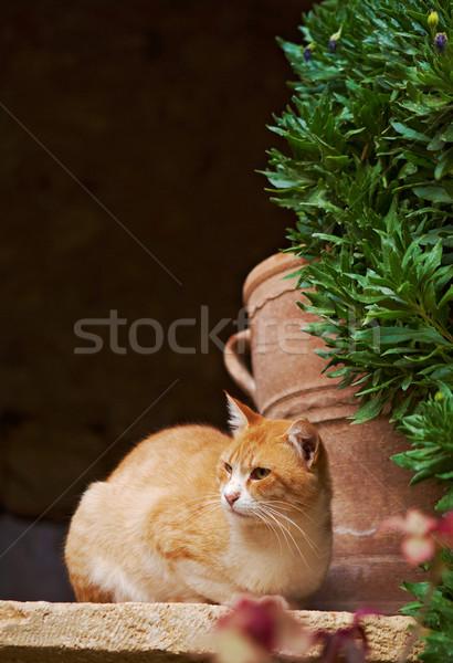 Leniwy czerwony biały kot włosy pomarańczowy Zdjęcia stock © michey