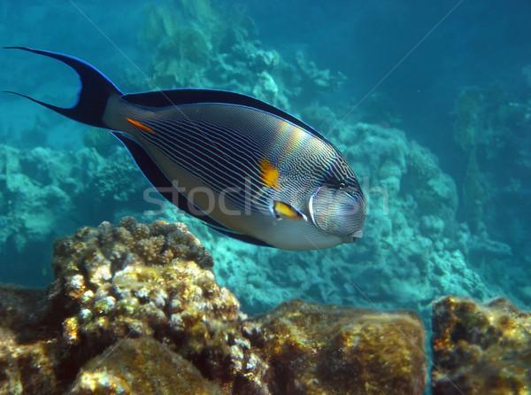 Egipt pasiasty pływanie morza tle Zdjęcia stock © michey