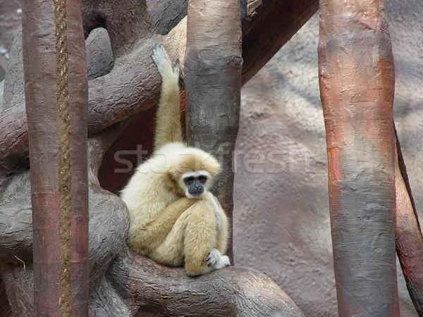 Sam małpa smutne twarz człowiek włosy Zdjęcia stock © michey