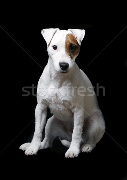 Jack russell  Stock photo © mikdam