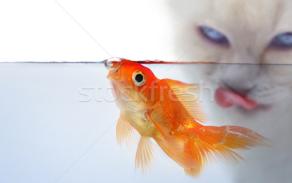 Or poissons chat bouche vie animaux Photo stock © mikdam