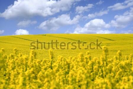 Citromsárga mező olaj mag nemi erőszak korai Stock fotó © mikdam